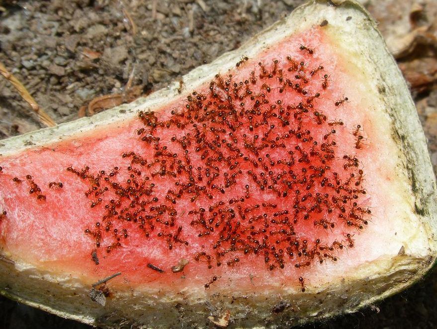 Eliminar plaga de hormigas cheap empresa de control de for Como acabar con las hormigas del jardin