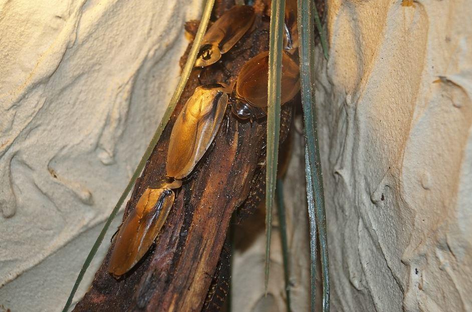 Cucarachas en casa en Córdoba - Abecor