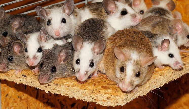 Plaga de Ratones en Córdoba - Abecor