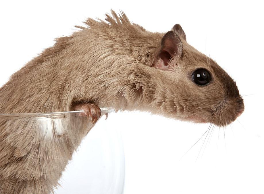 Eliminar Plaga de Ratones en Córdoba - Abecor